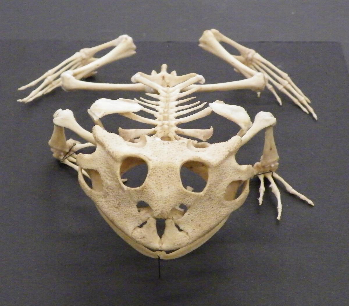 Feeding A Pacman Frog In Winter Snake Skeleton Diagram Labeled