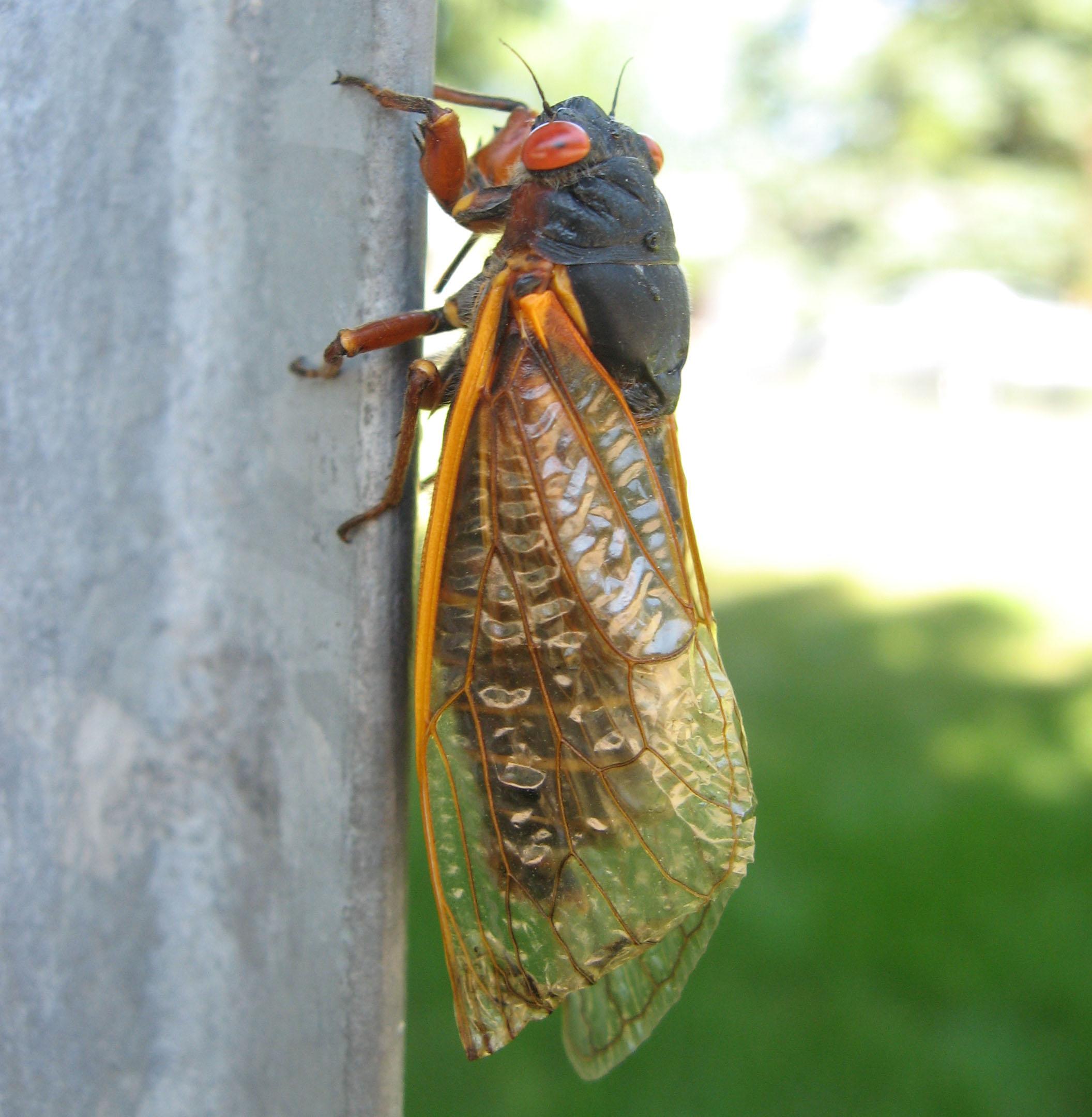 periodical cicadas 17 year