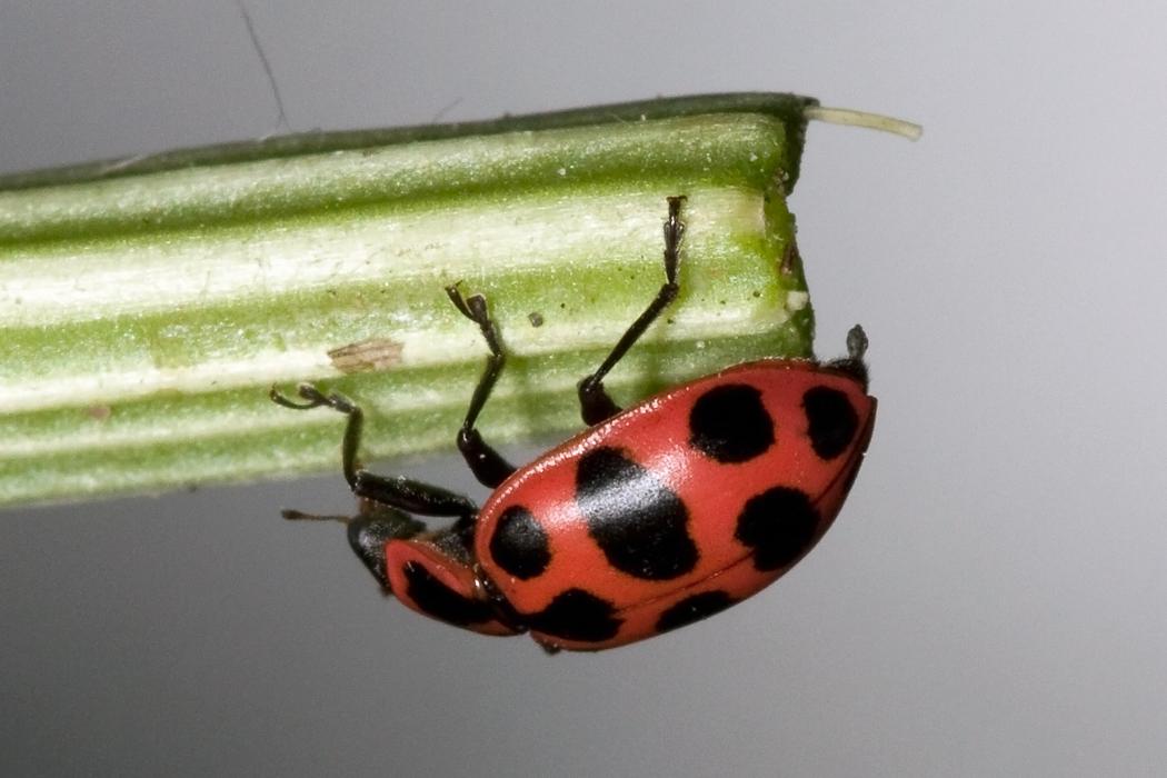 Coleomegilla maculata 02.jpg