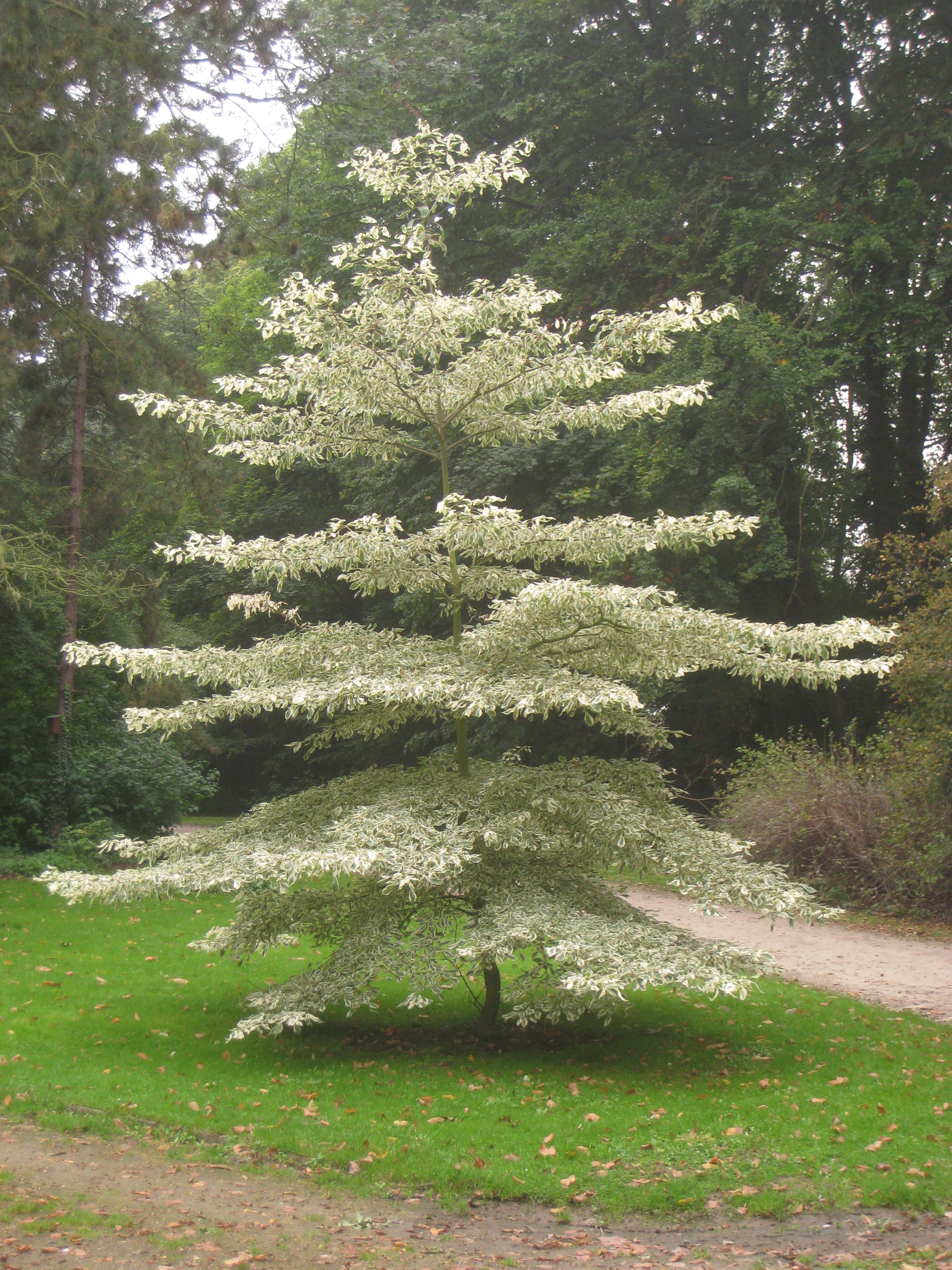 cornus controversa 39 variegata 39 giant dogwood plant lust