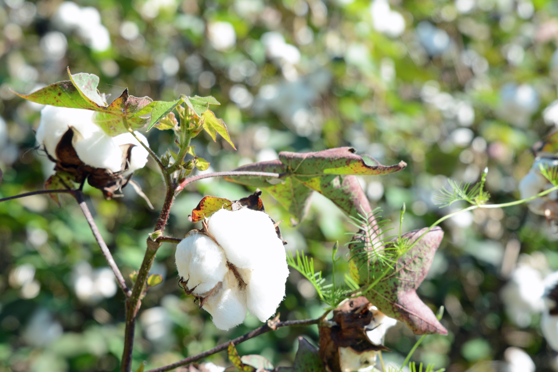 File:Cotton plant, Ware County, GA, US.jpg - Wikipedia