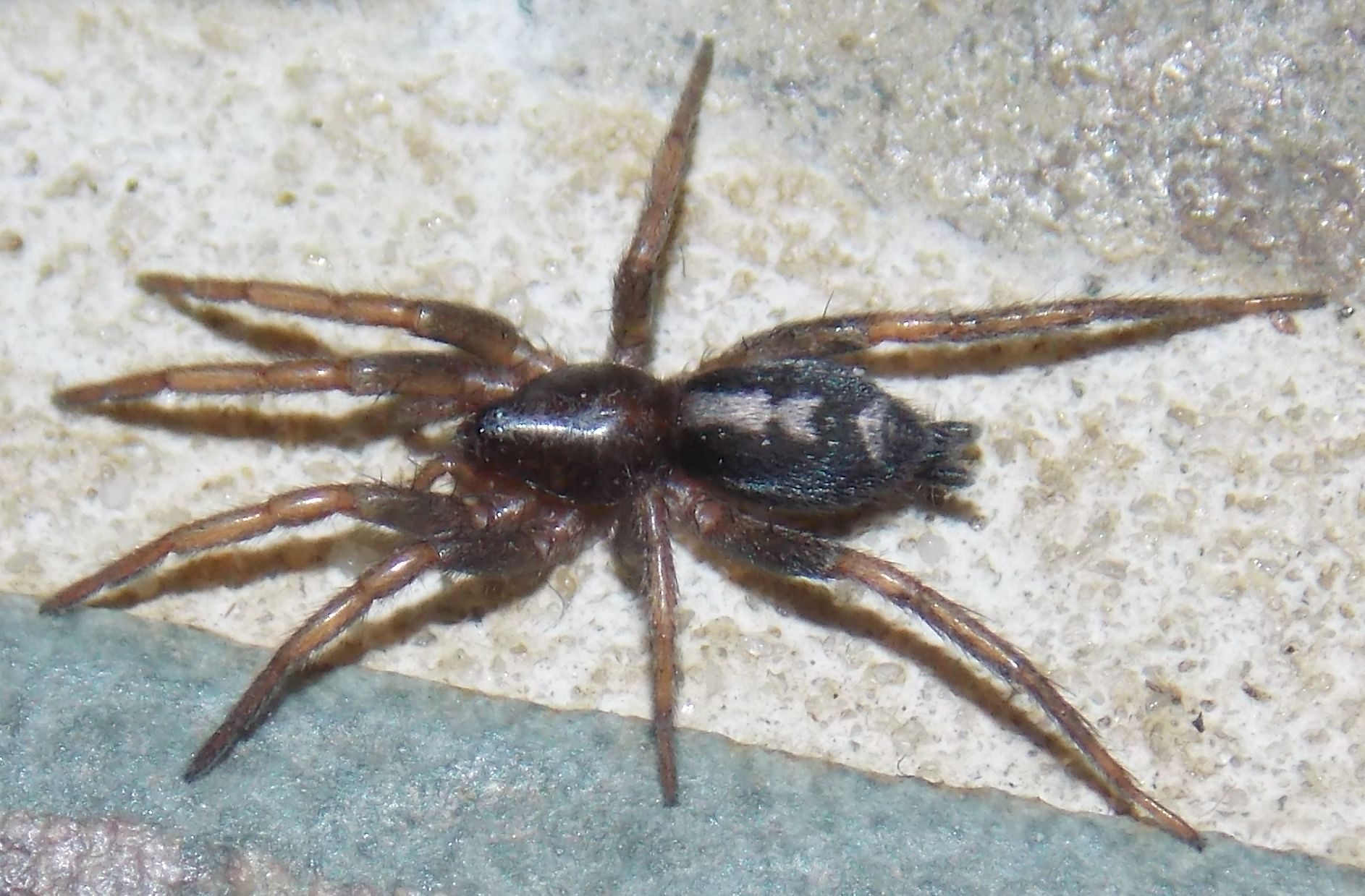 File Eastern Parson Spider Herpyllus Ecclesiasticus Jpg