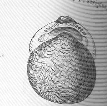 File:FMIB 50166 Pectunculus scriptus (Born).jpeg