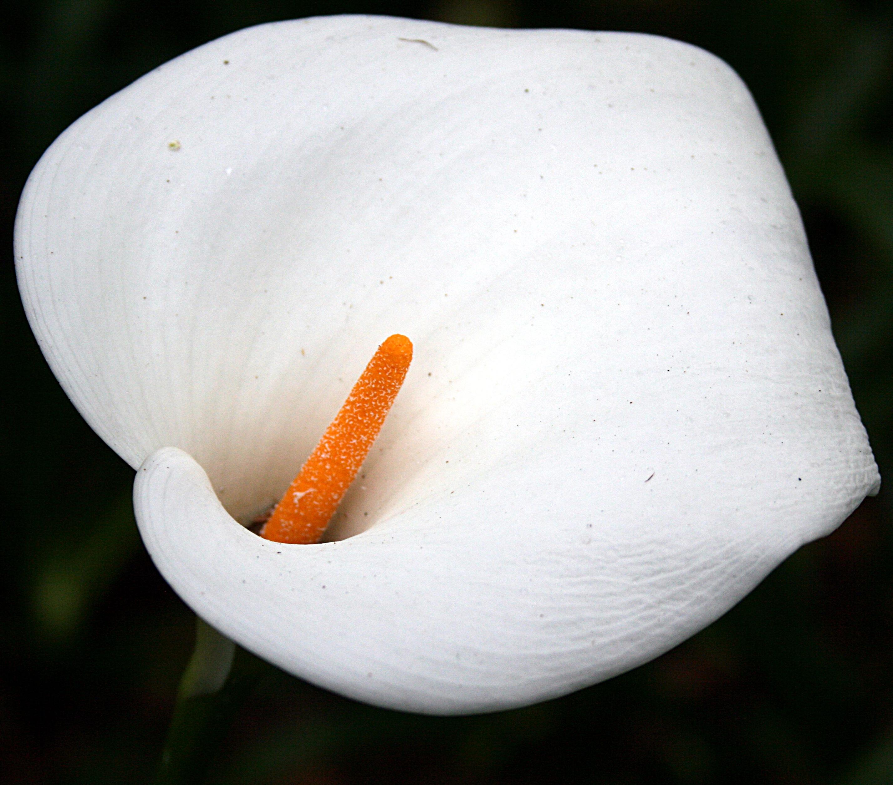 Zantedeschia Aethiopica Flowers