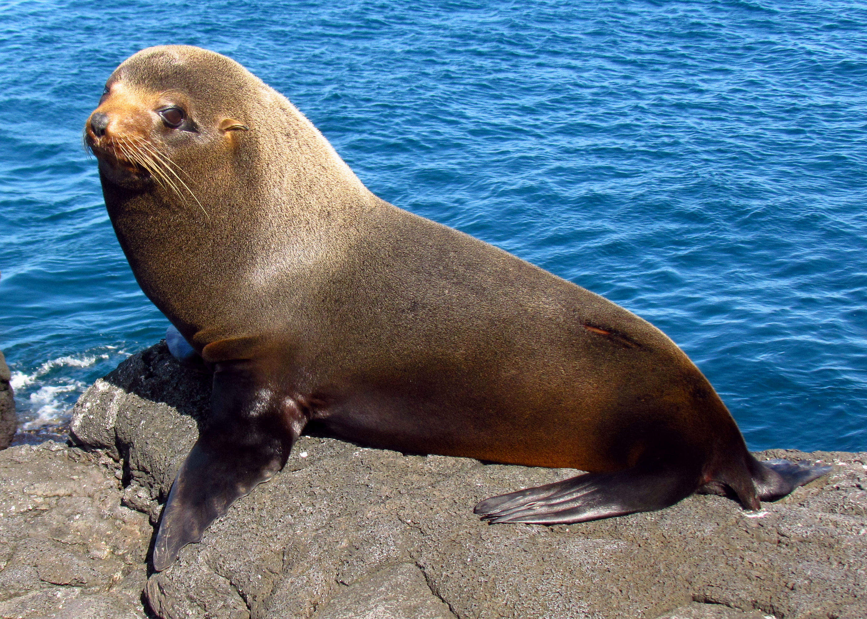 Image result for galapagos fur seal