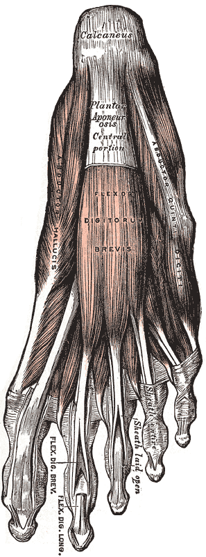 Dorsal and plantar aspects of foot