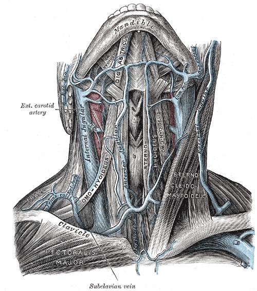 Vena jugularis interna – Wikipedia