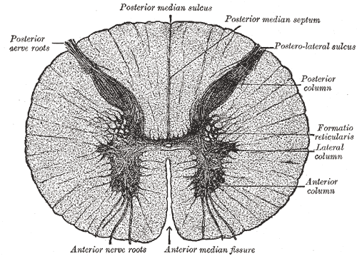 Anterior white commissure - Wikipedia