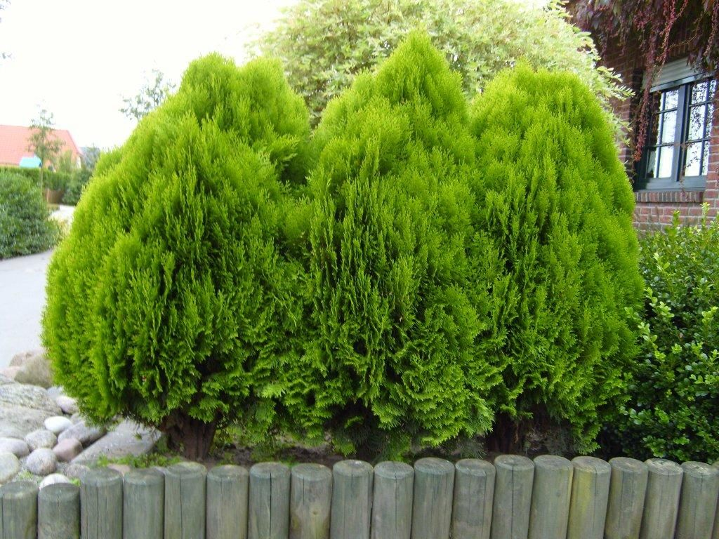 File hedge bush wikimedia commons for Small bushy trees