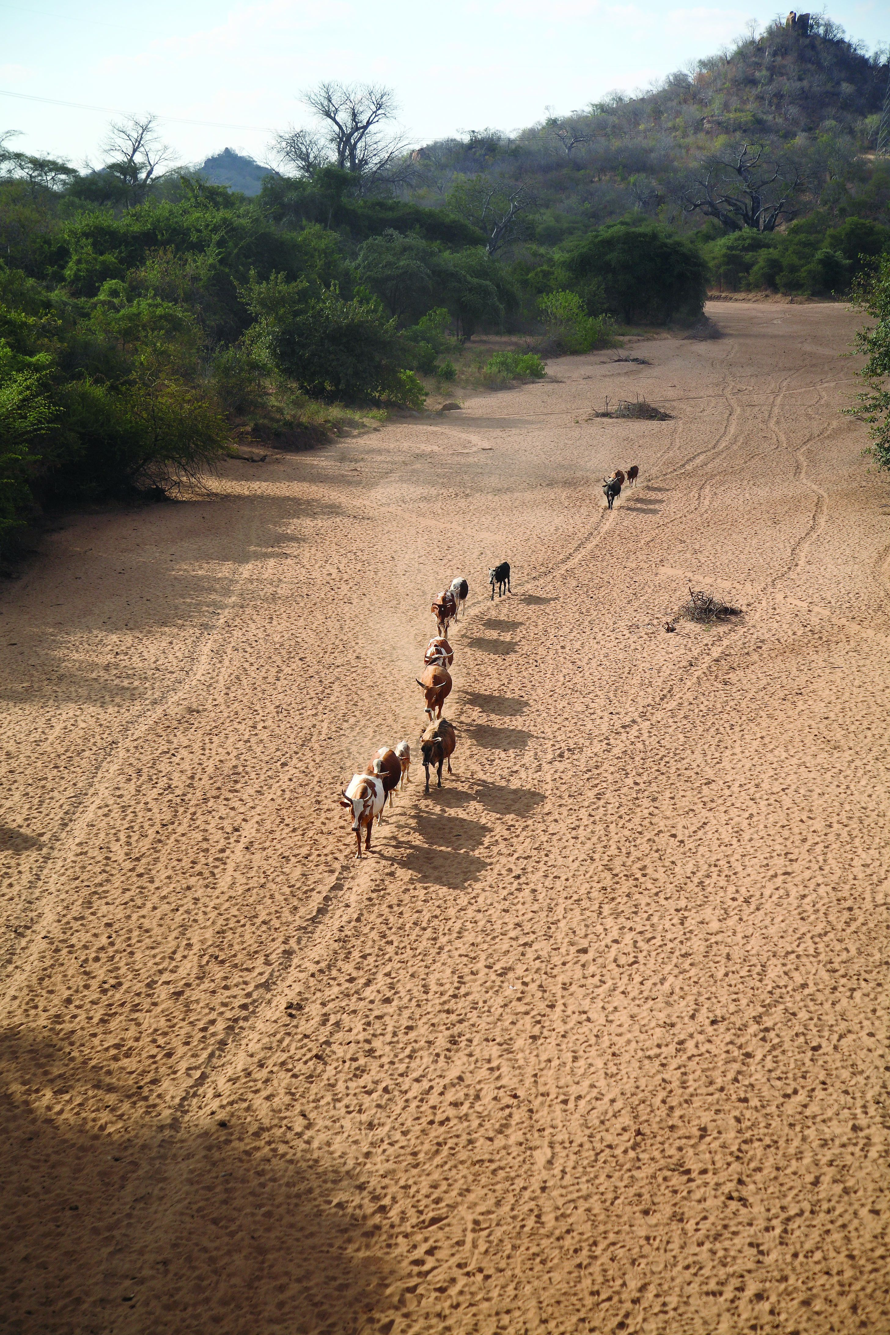 File Ilri Stevie Mann Cattle Herd Walks Home Along Dry