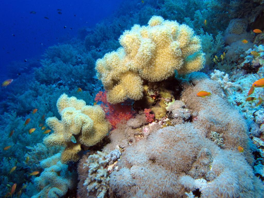 Description Leathery soft corals in a soft coral garden (6163697266 ...