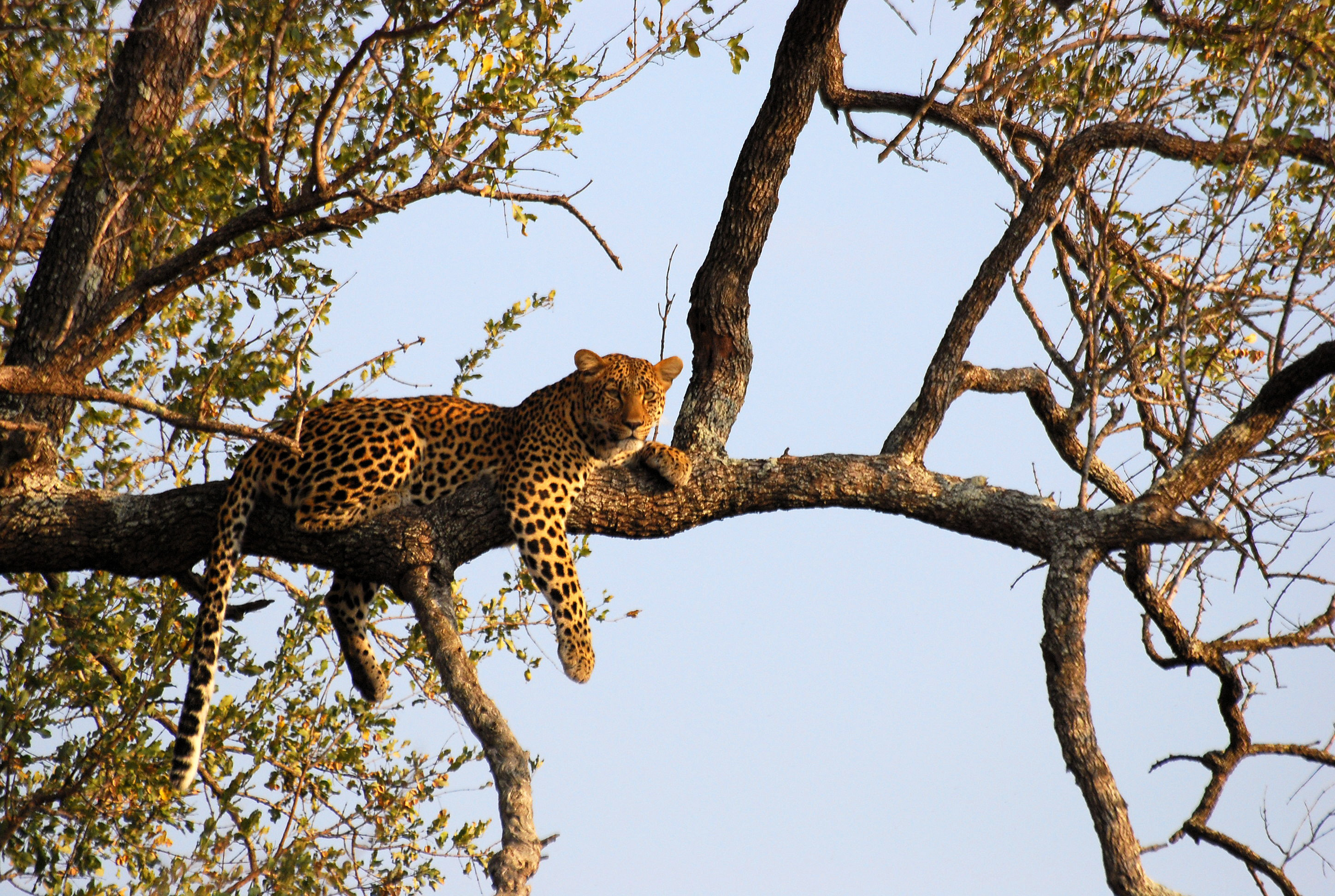 File Leopard On Tree Jpg Wikimedia Commons