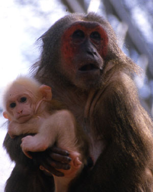 https://upload.wikimedia.org/wikipedia/commons/f/f8/Macaca_arctoides_m%C3%A8re_et_b%C3%A9b%C3%A9.jpg