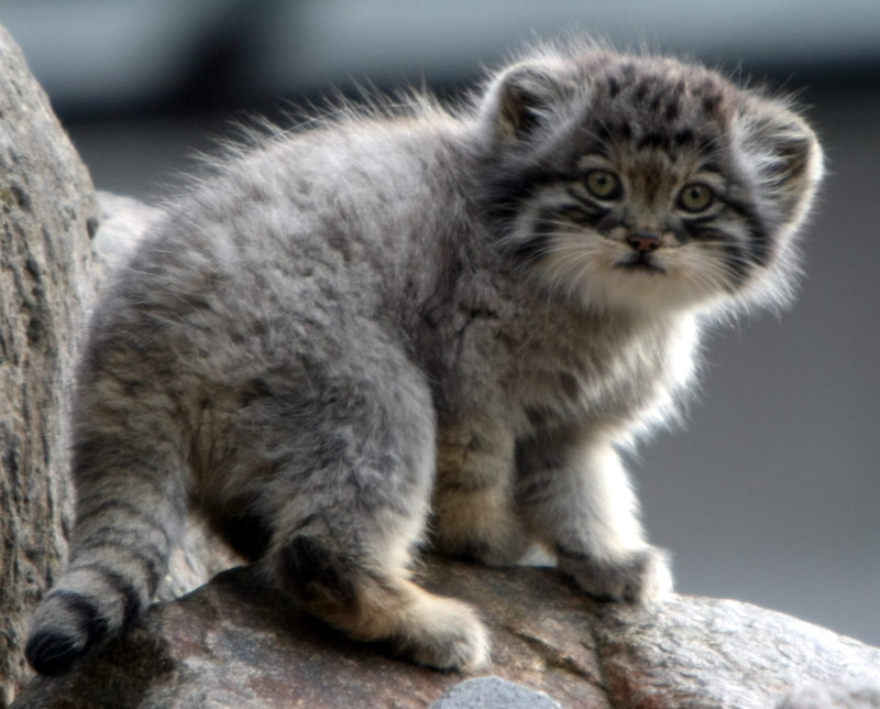 Pallas Cat Video Discovered