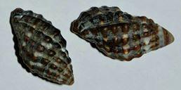 <i>Morula nodulosa</i> Species of gastropod