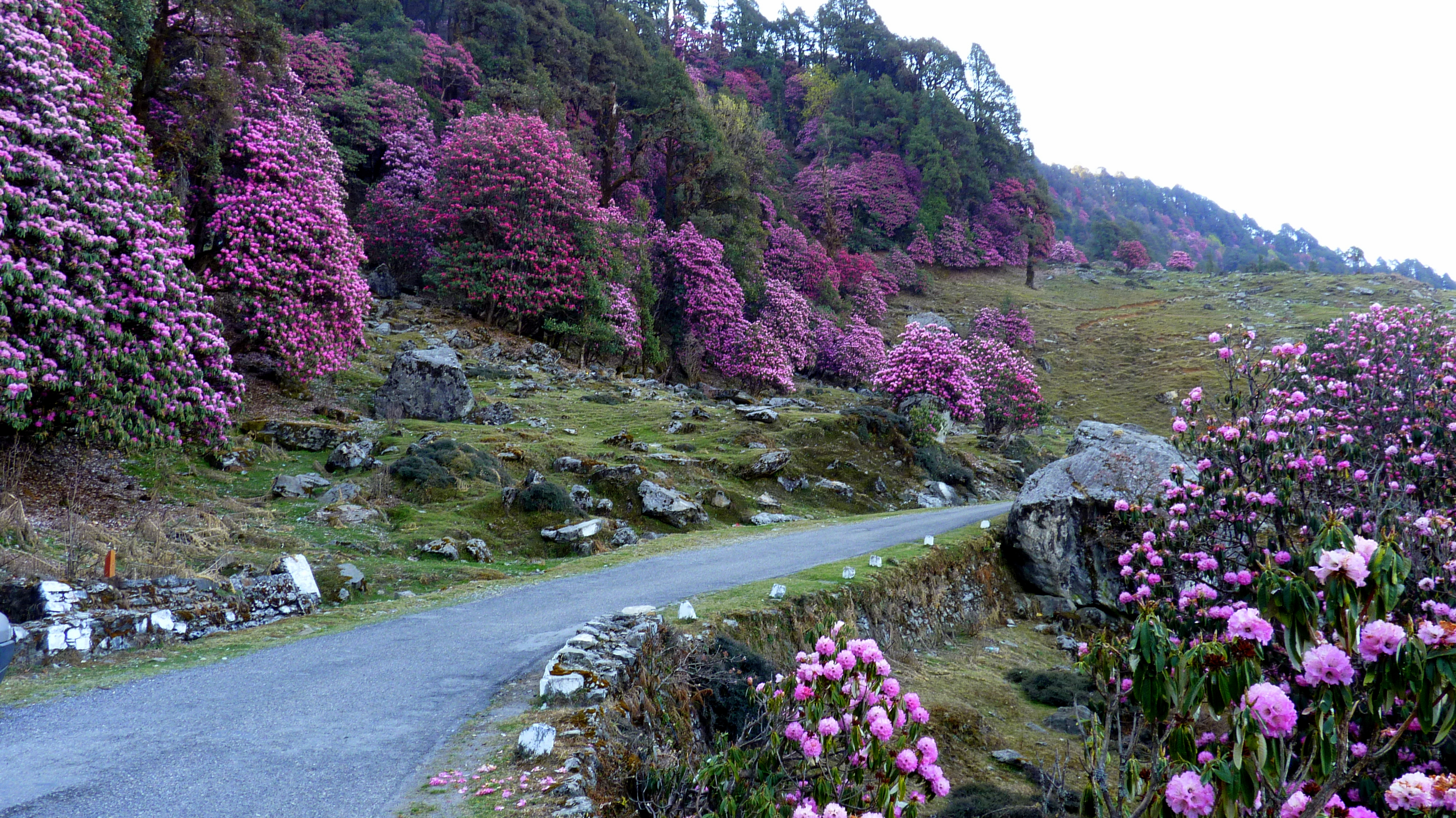 On the way to Chopta pink flowers one of the unexplored places in India