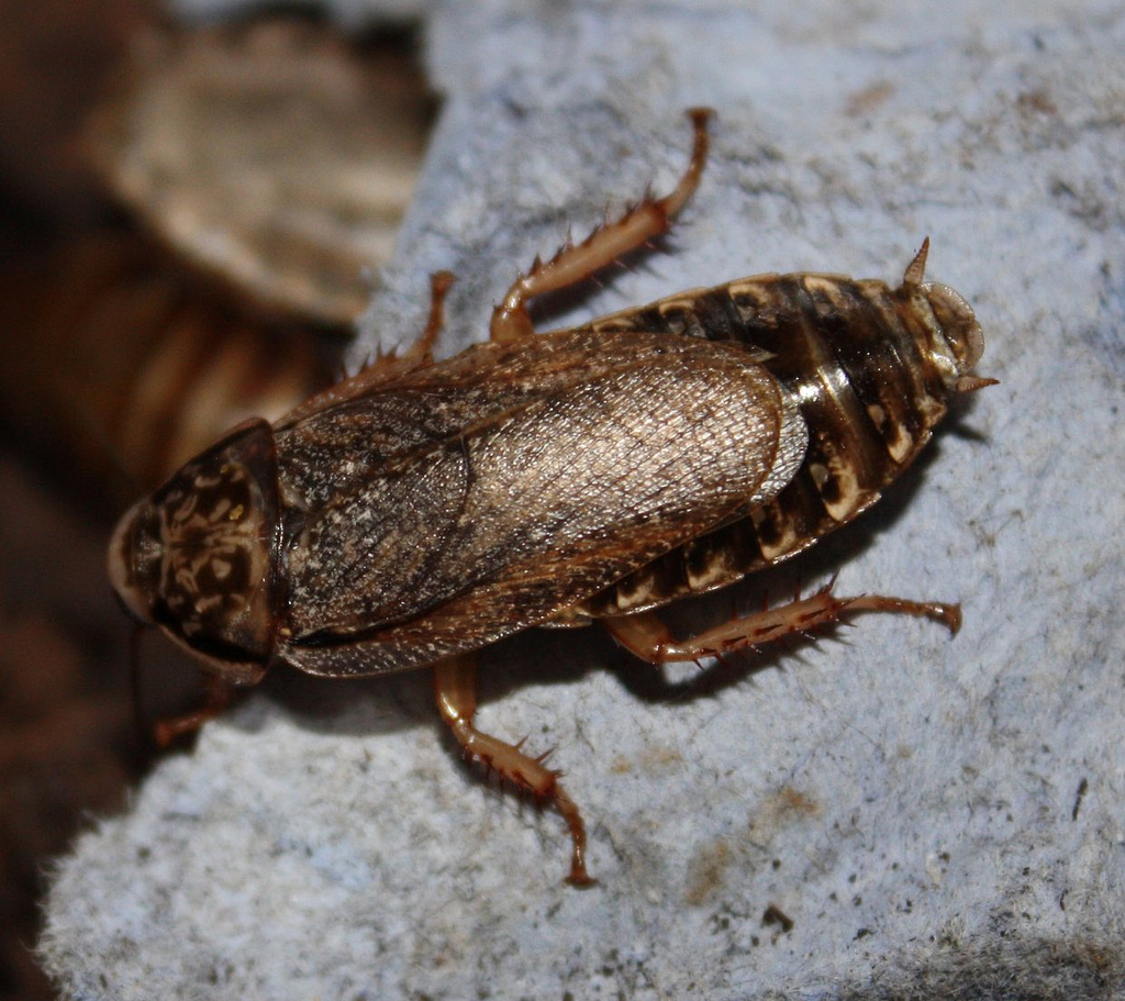 Speckled cockroach - Wikipedia