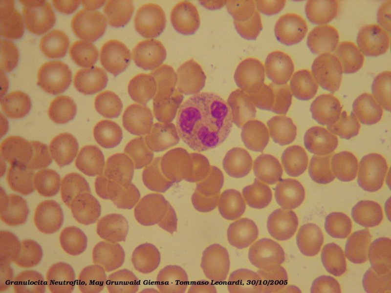 Neutrophil cell
