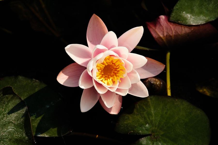 Nymphaea_lotus_var._thermalis.jpg