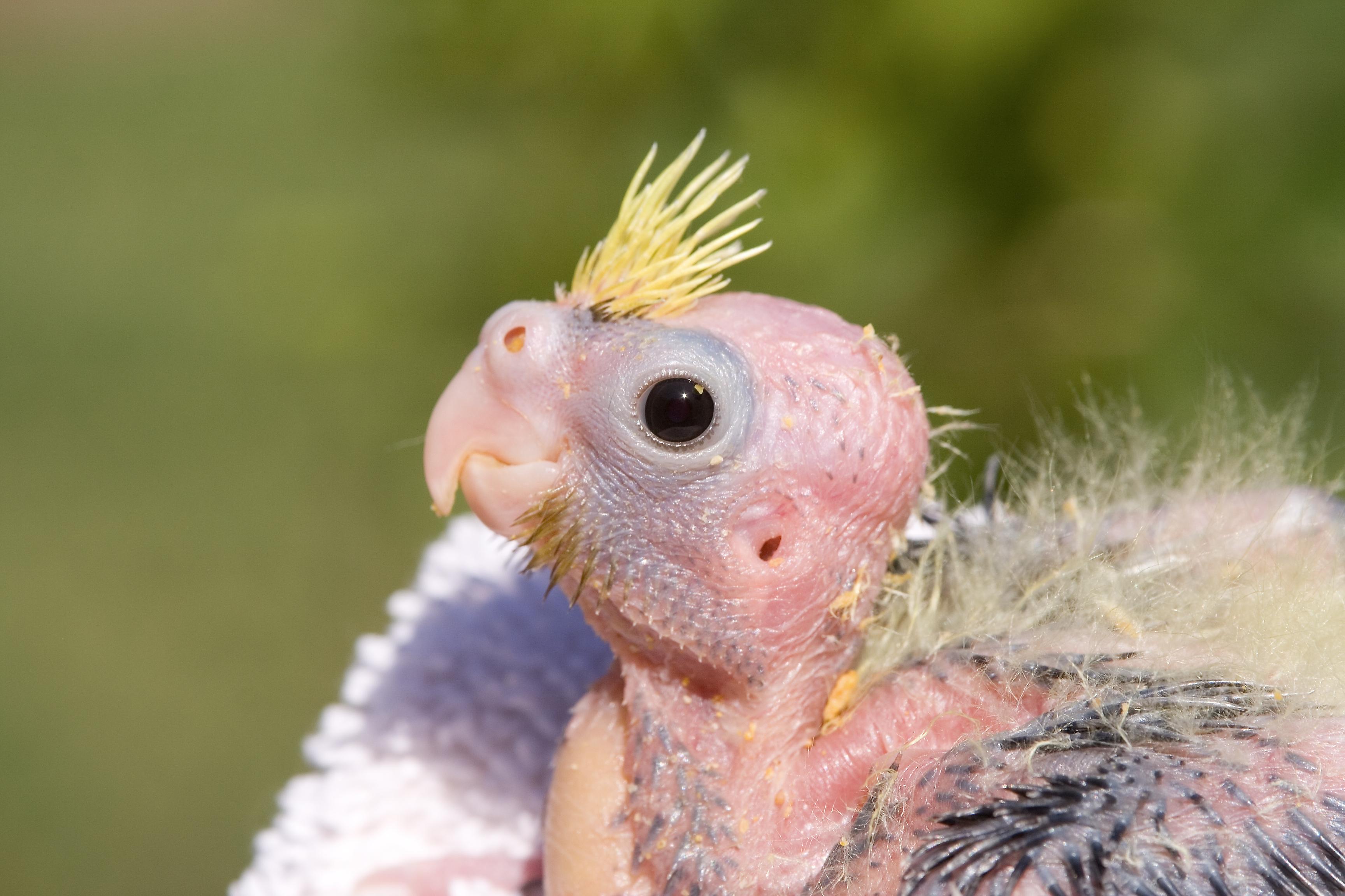 Emergencia com sua Calopsita  Nymphicus_hollandicus_-chick_-upper_body-8