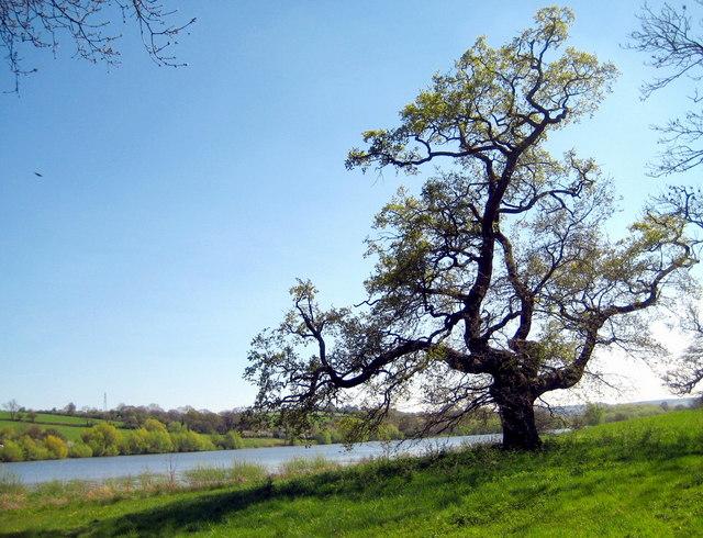 Oak tree - Sutton Bingham - geograph.org.uk - 1264433