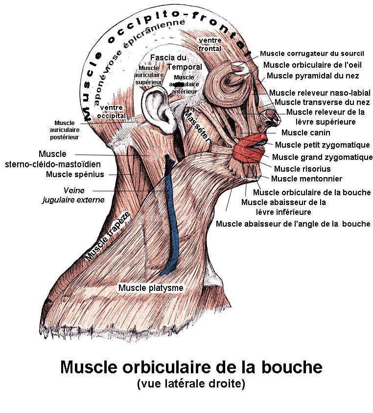 Anatomie Bouche fichier:orbiculaire de la bouche — wikipédia