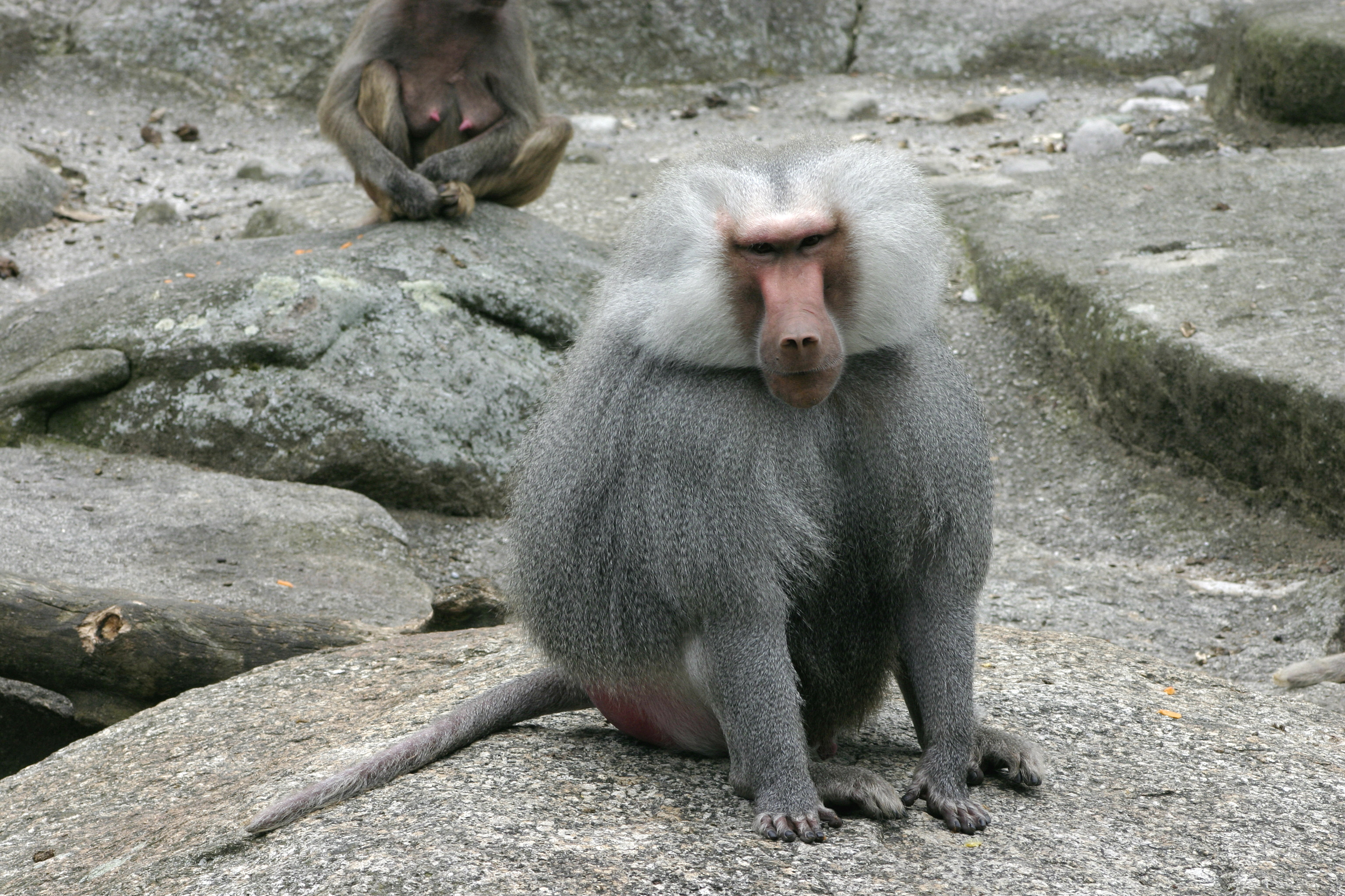 hamydryas baboon essay Essay by papernerd contributor, college, undergraduate, september 2001  download word file, 7 pages, 50 downloaded 40 times keywords  hamydryas baboon.