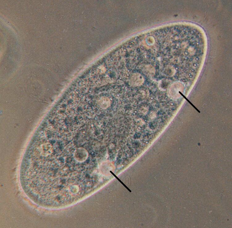 paramecium cell - photo #25