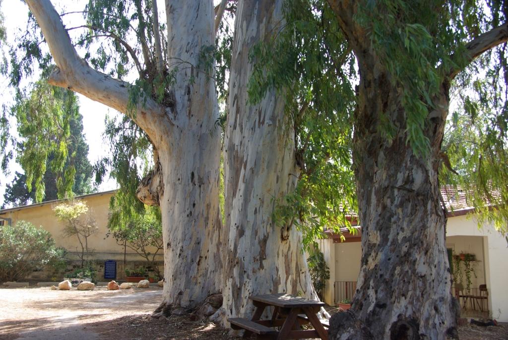 Planting Under Eucalyptus Trees : Pikiwiki israel gan samuel large eucalyptus trees in g