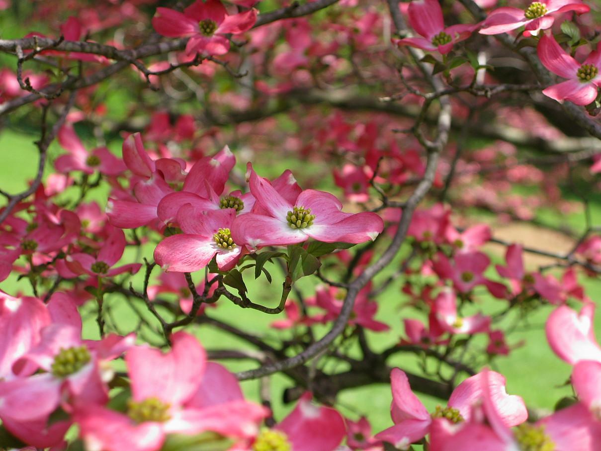 File Pink flower tree dogwood West Virginia ForestWander Wikimedia