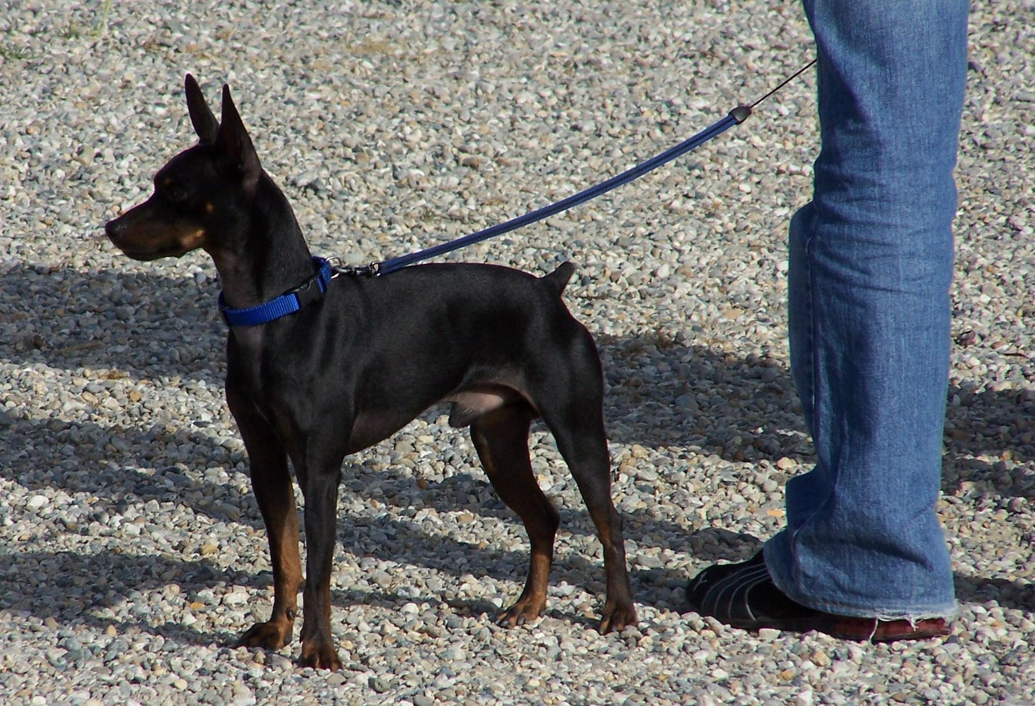 Dogs Foe Sale Thurcroft