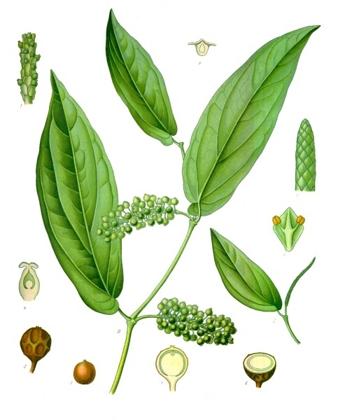 https://upload.wikimedia.org/wikipedia/commons/f/f8/Piper_cubeba_-_K%C3%B6hler%E2%80%93s_Medizinal-Pflanzen-244.jpg