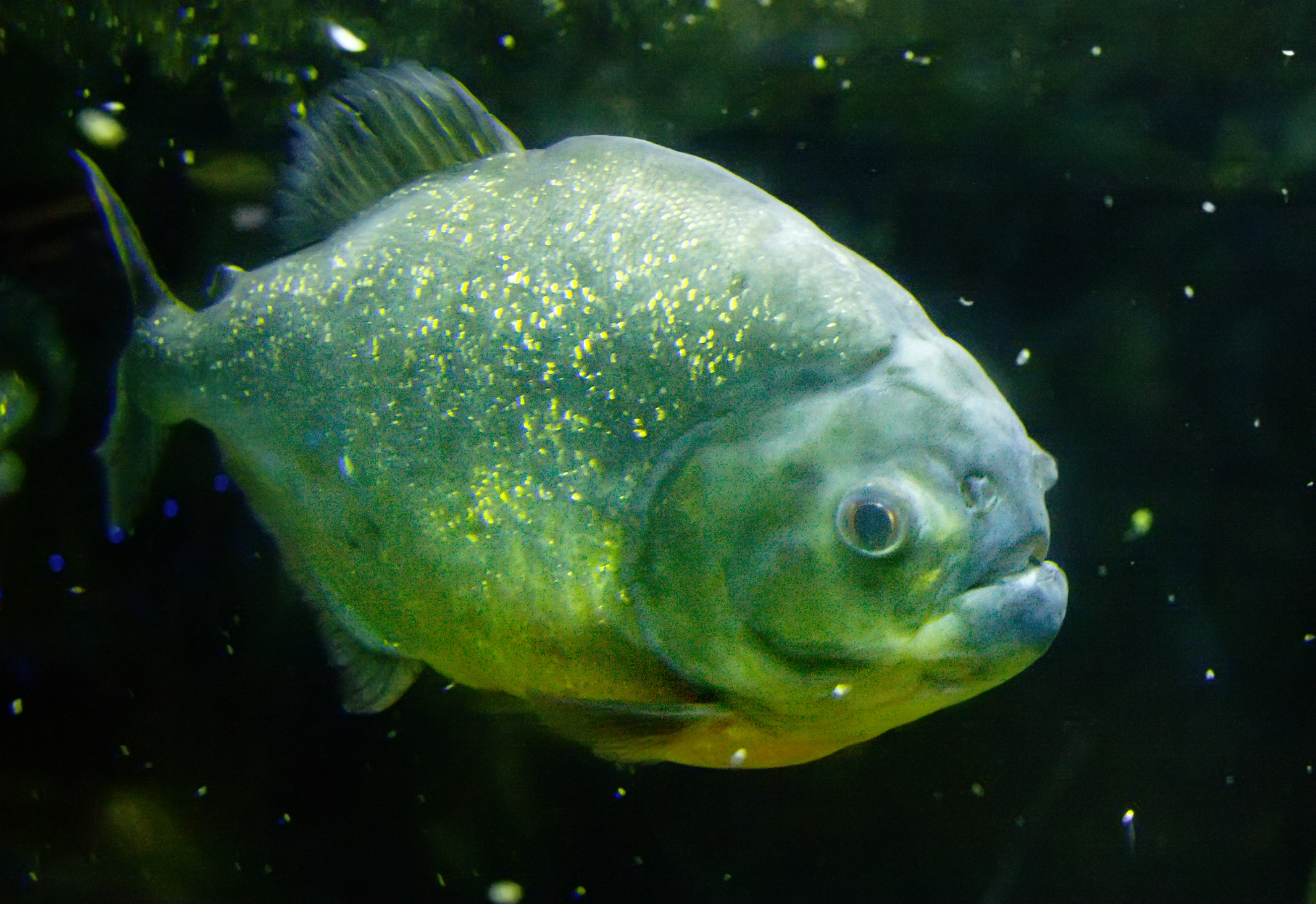 File piranha wikimedia commons for Dangerous fish in the amazon