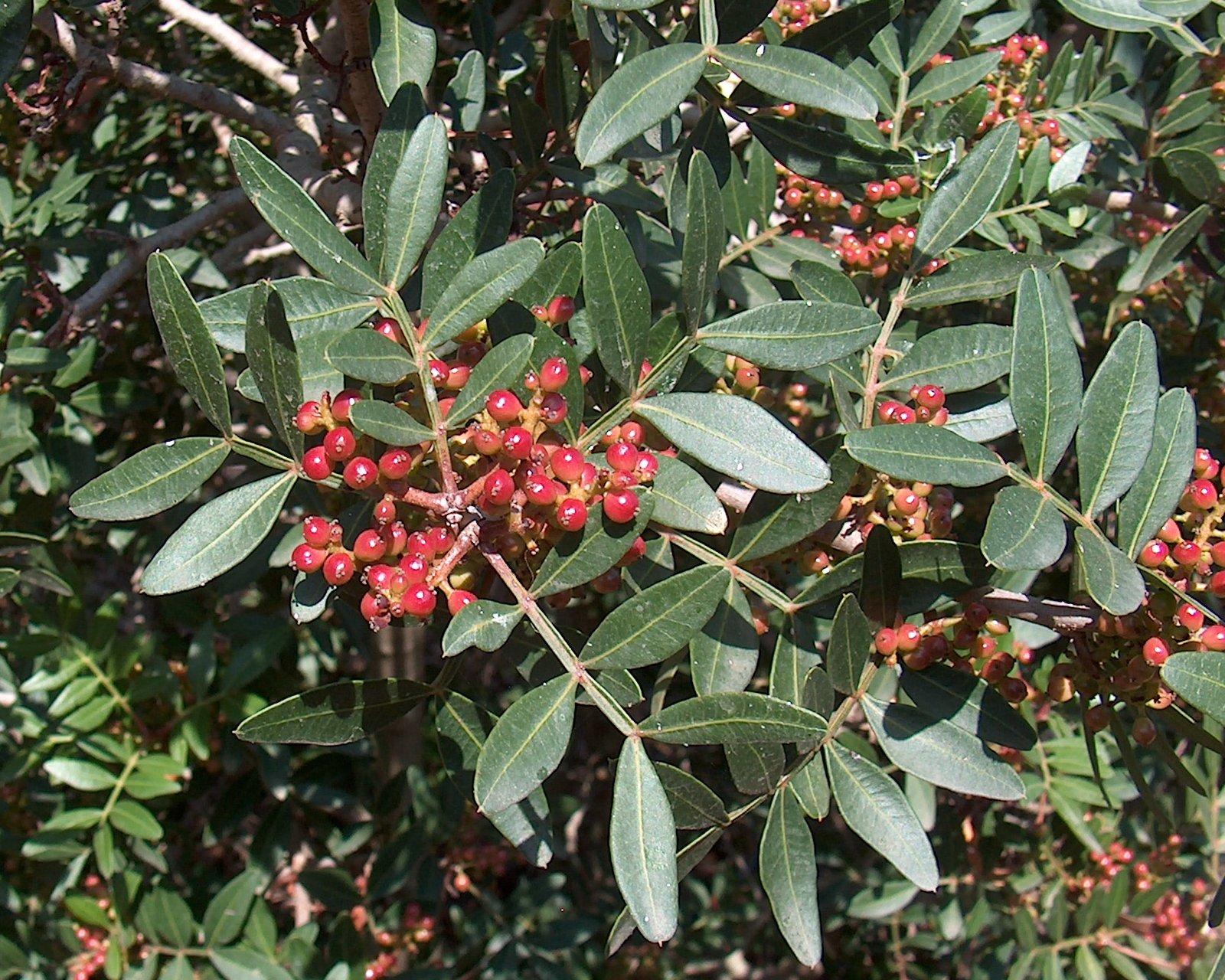 شجرة دائمة الخضرة لها ثمر أحمر مر