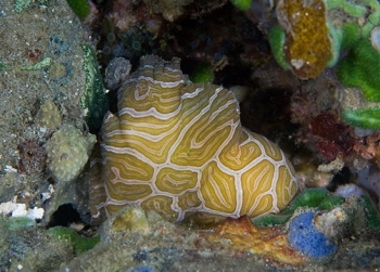 File:Psychedelic frogfish - squeezing into a hole 08Am3A1b.jpg