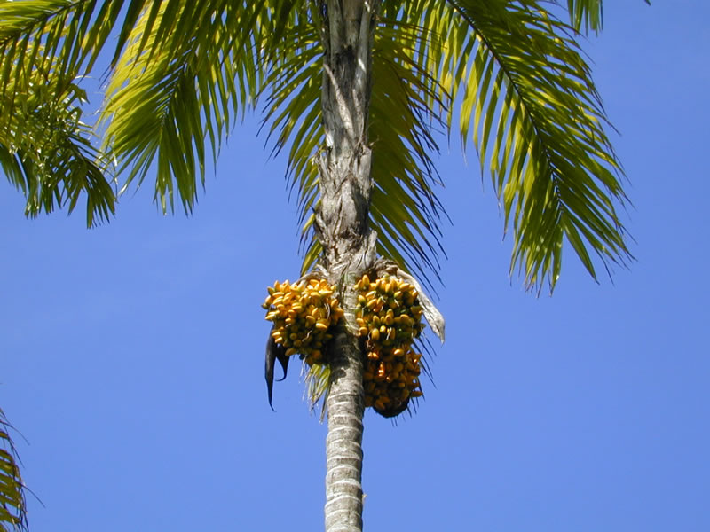 Bactris gasipaes - Wikispecies