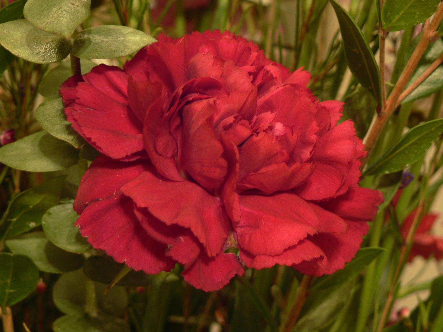 File Red Carnation Flower