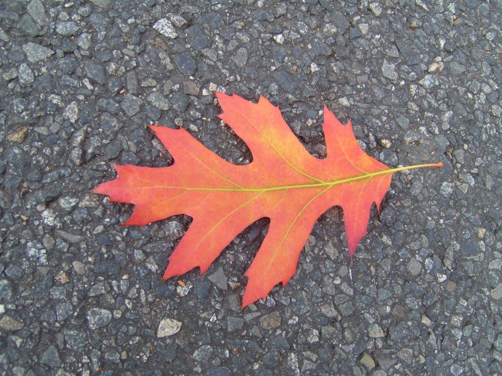 File:Red Autumn Leaf.jpg