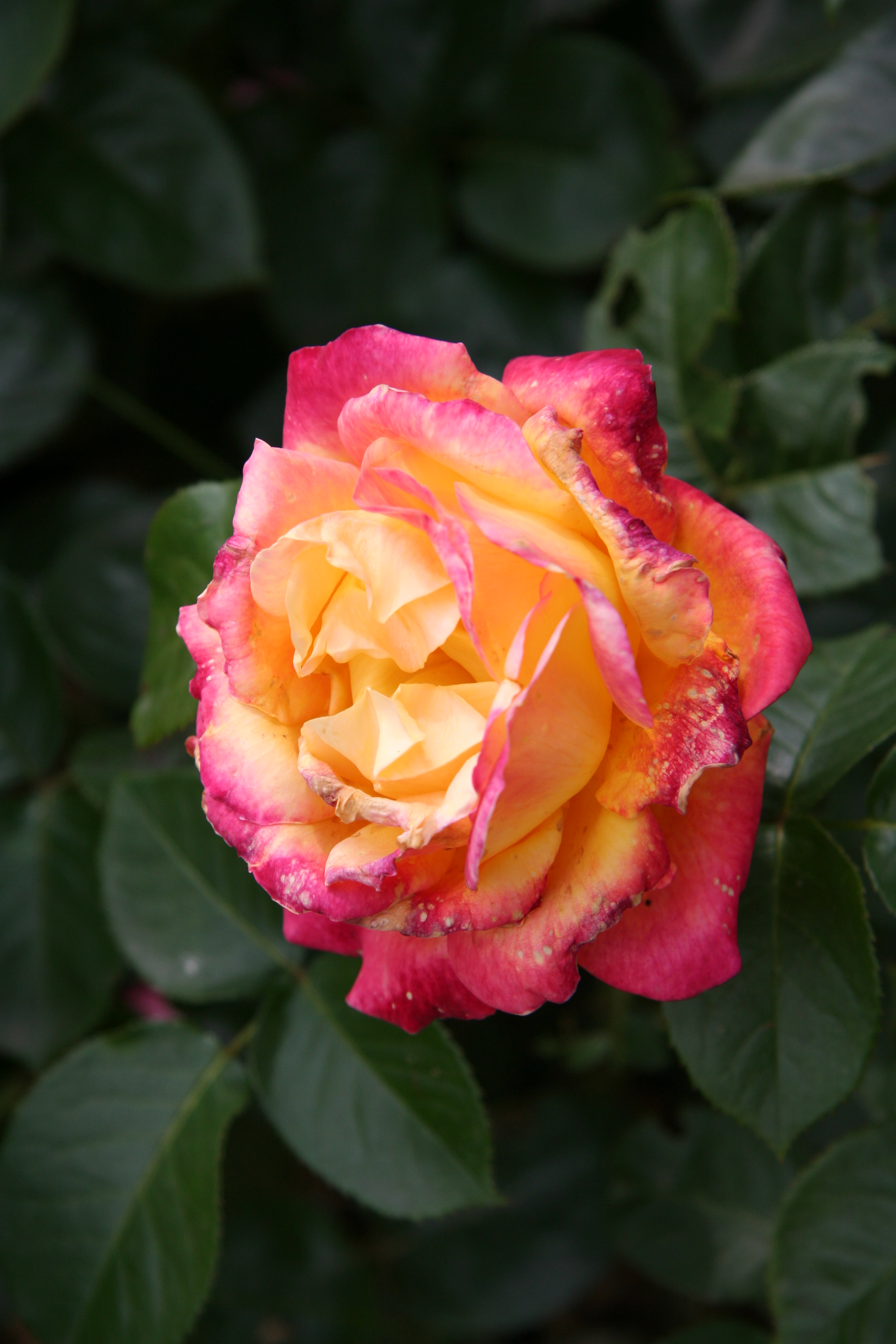 роза пульман ориент экспресс фото и описание