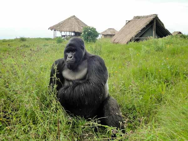 gorilla silverback virunga drc