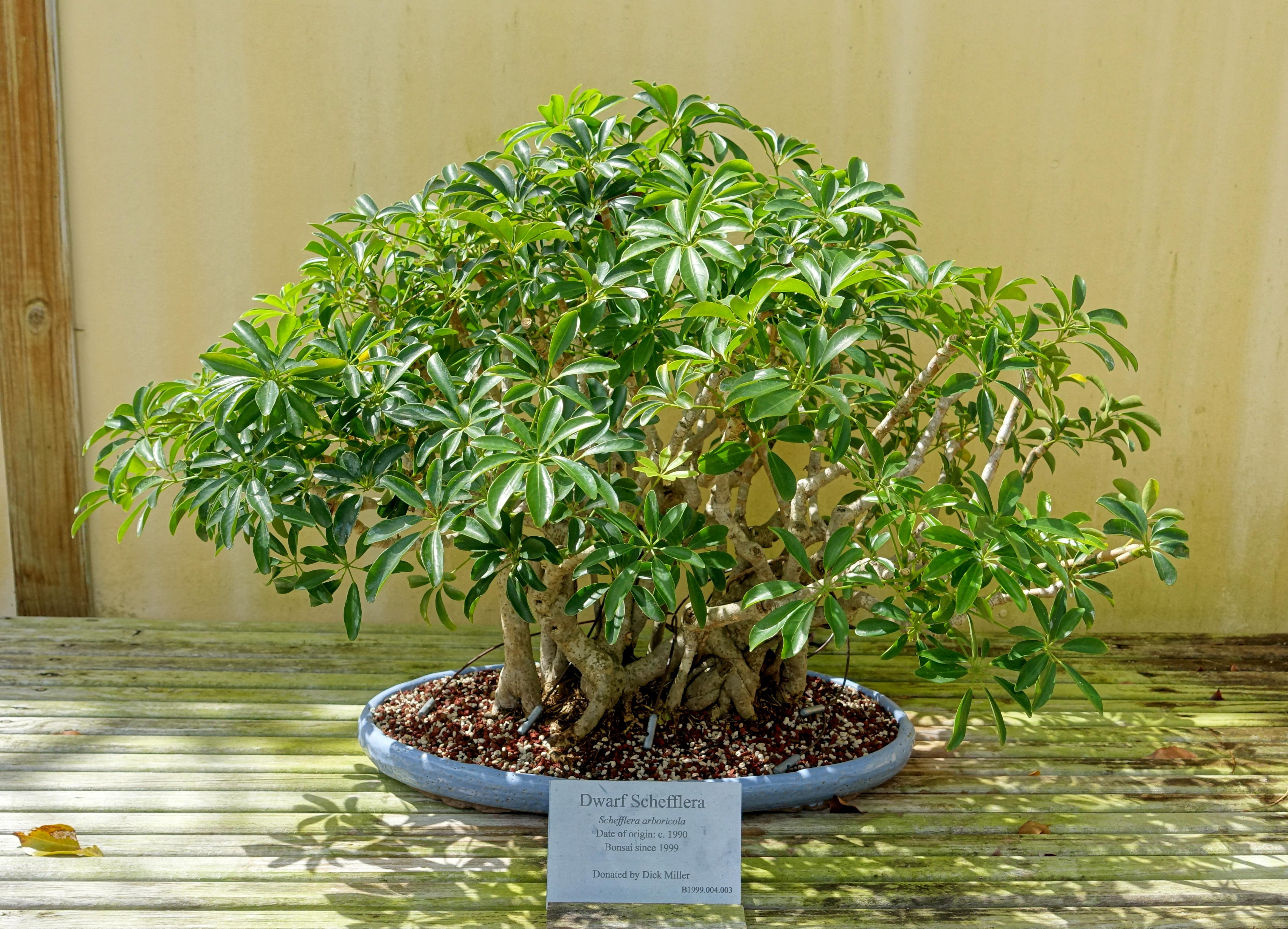 File:Schefflera arboricola - Morikami Museum and Japanese Gardens ...