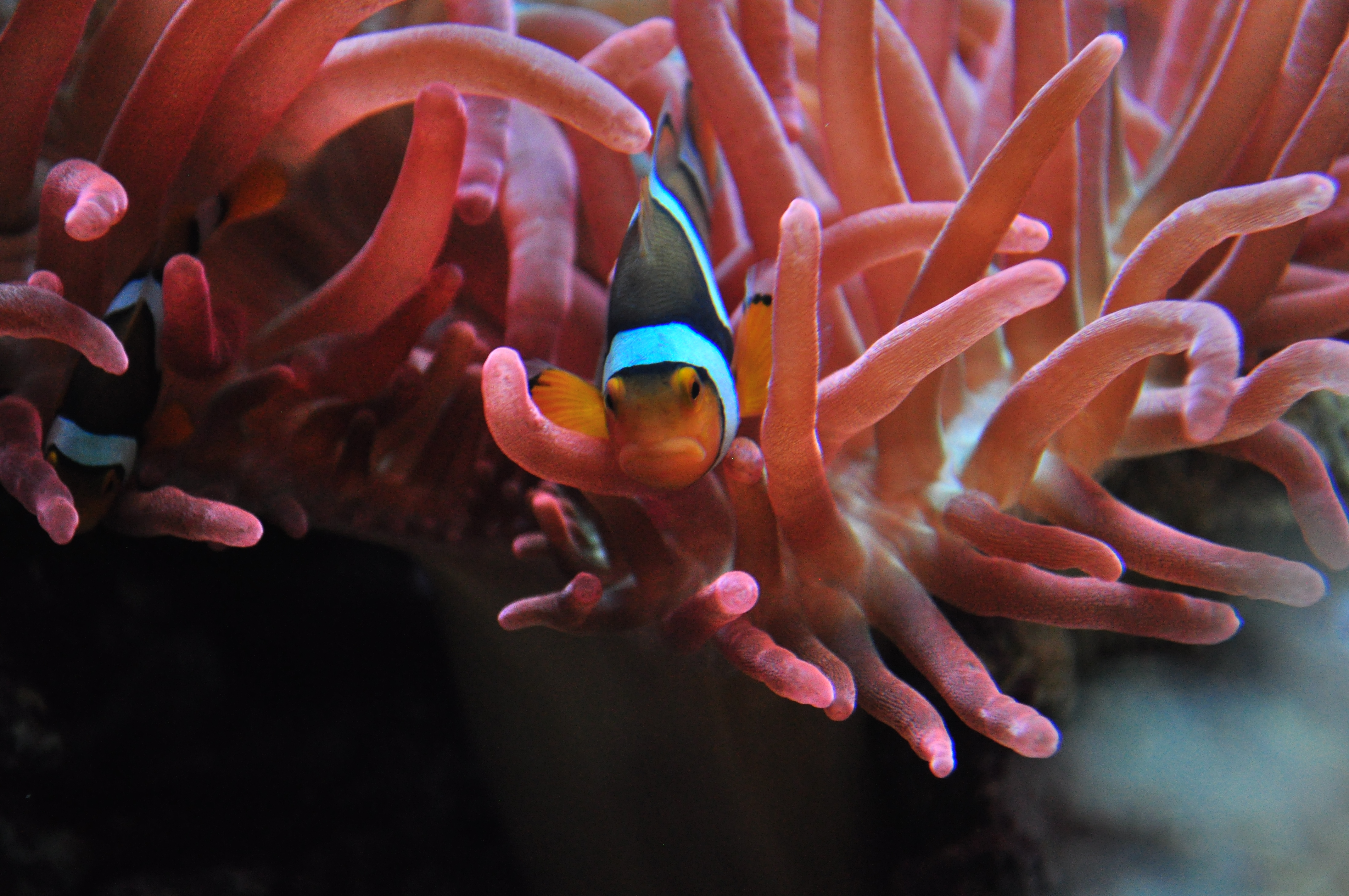 File:Seattle Aquarium 092 - Tropical Pacific - clownfish and sea ...