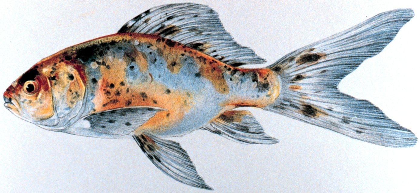 File shubunkin for American koi fish