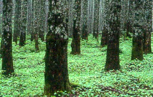 A plantation of Douglas-fir in Washington, U.S. - Plantation