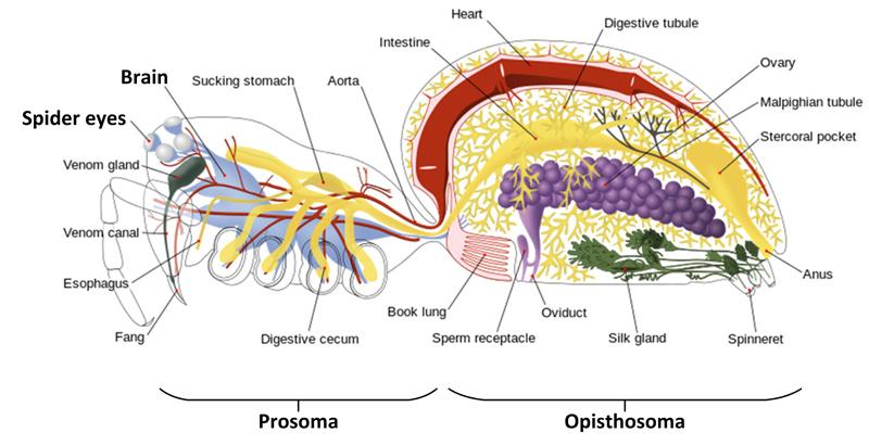 File:Spider internal anatomy - altered description.jpg - Wikimedia ...