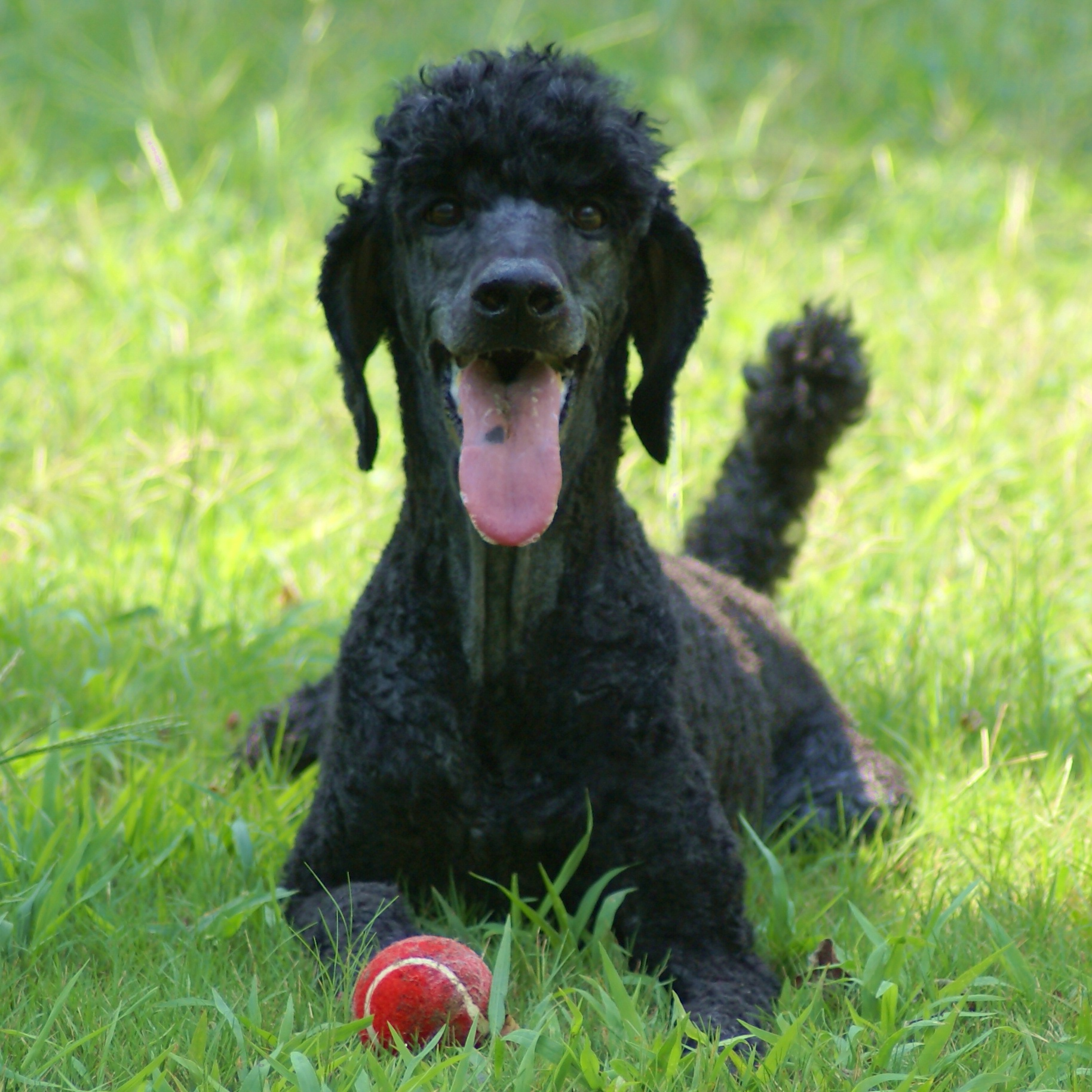 black standard poodle puppy - photo #49
