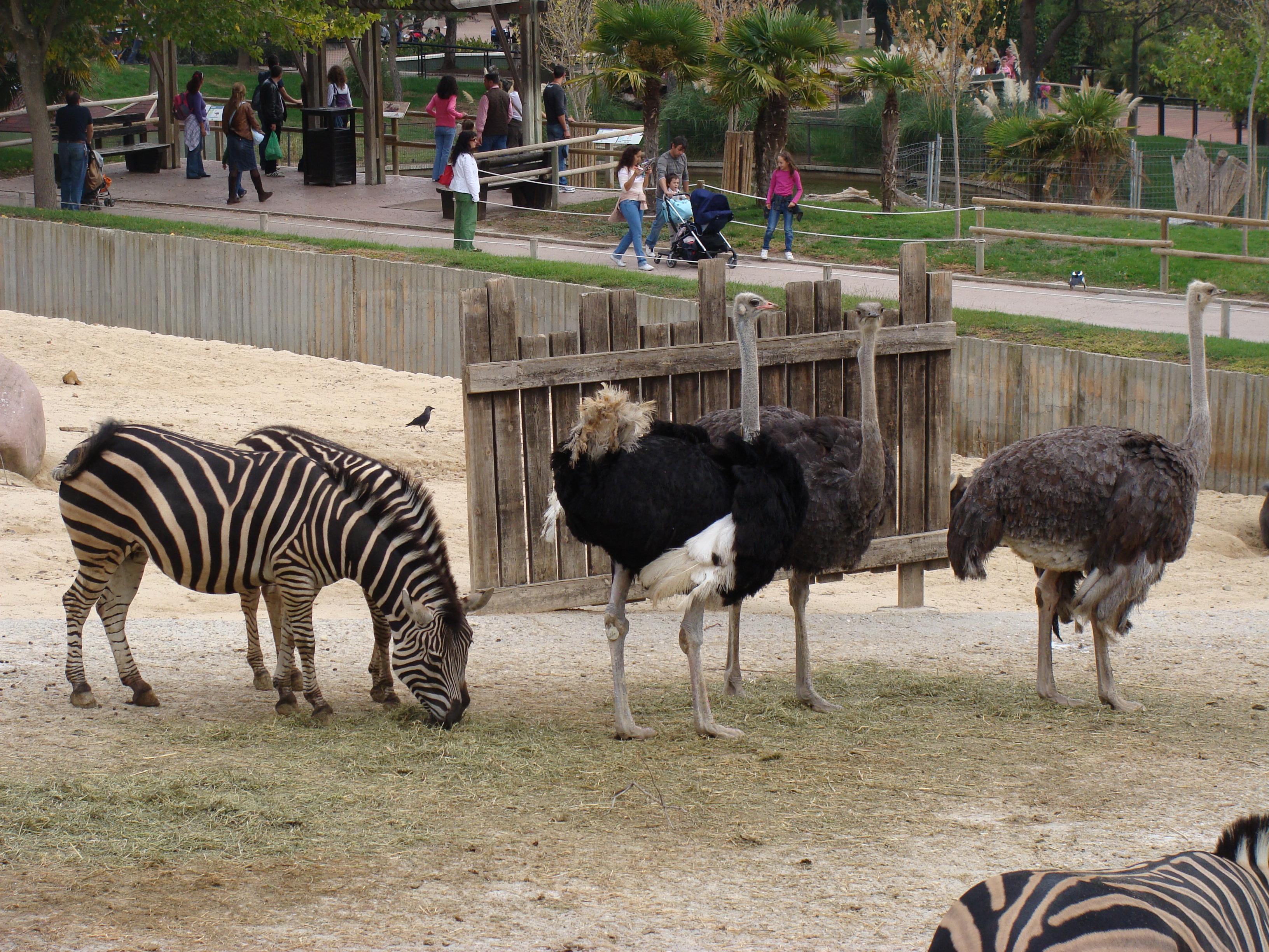 File Struthio Camelus 001 Zoo Aquarium De Madrid Jpg