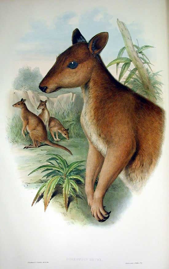 The average litter size of a Dusky pademelon is 1