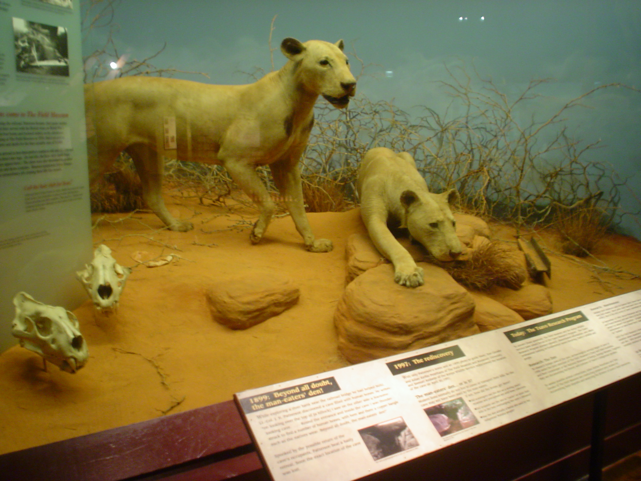 Tsavo maneaters.jpg