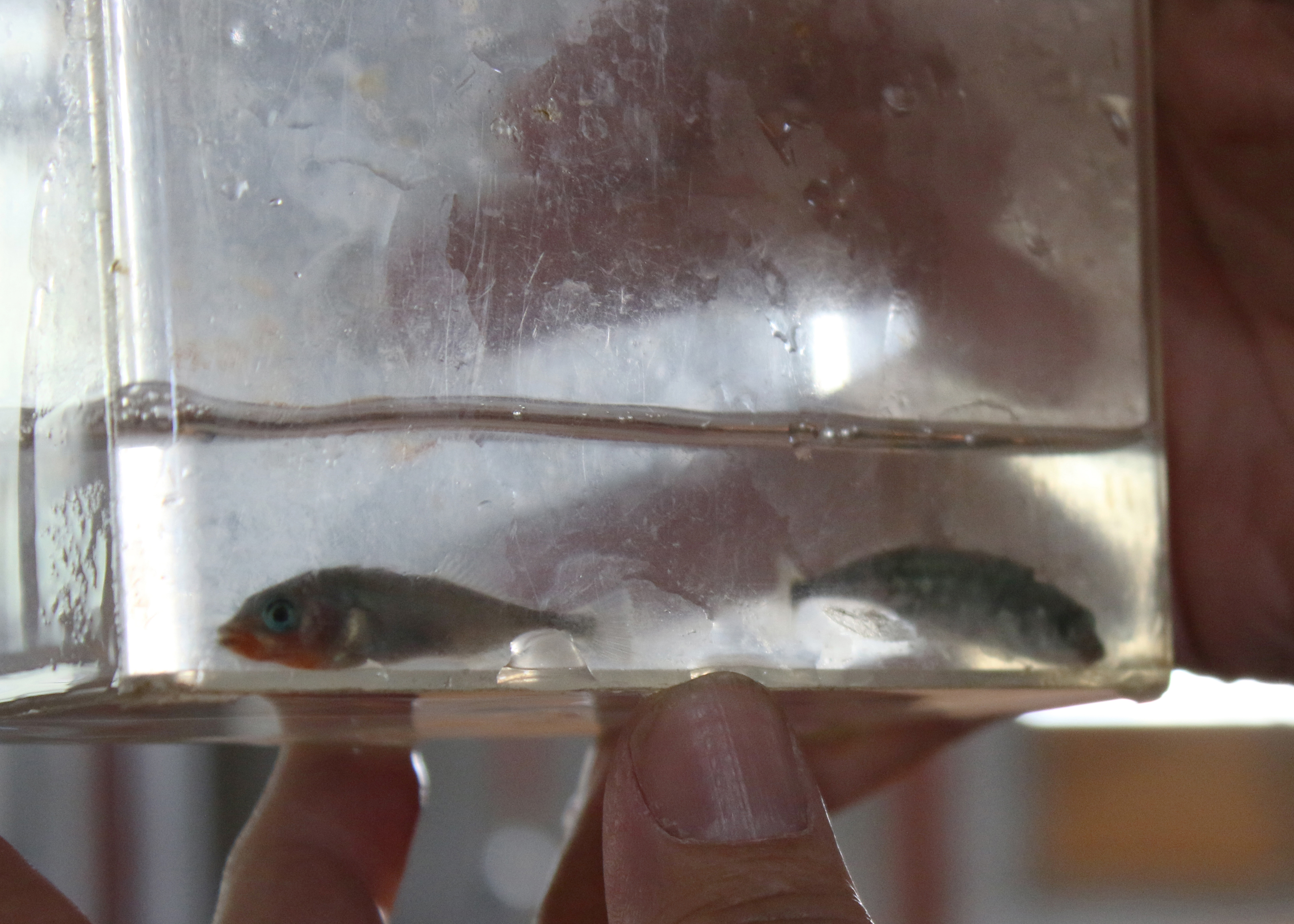 File:Unarmored threespine sticklebacks at the California